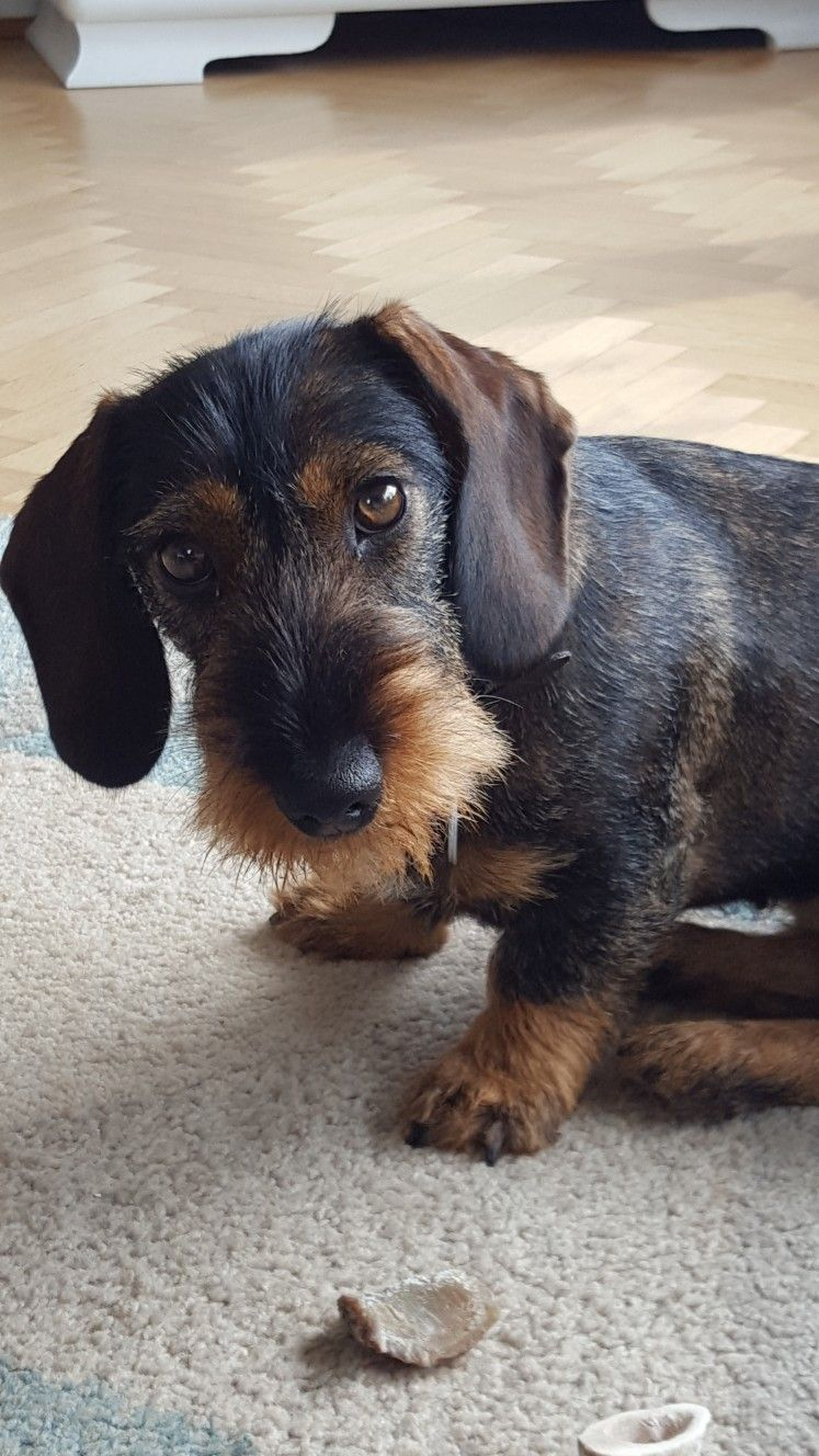 Fine Wire Haired Dachshund Schnoodle Dog Dachshund Dog