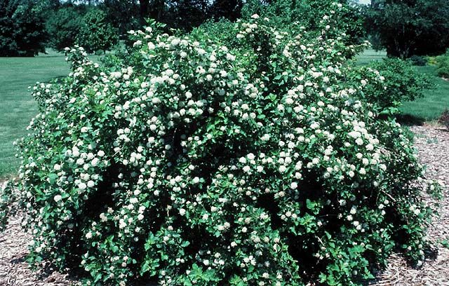 Common Ninebark (Physocarpus)