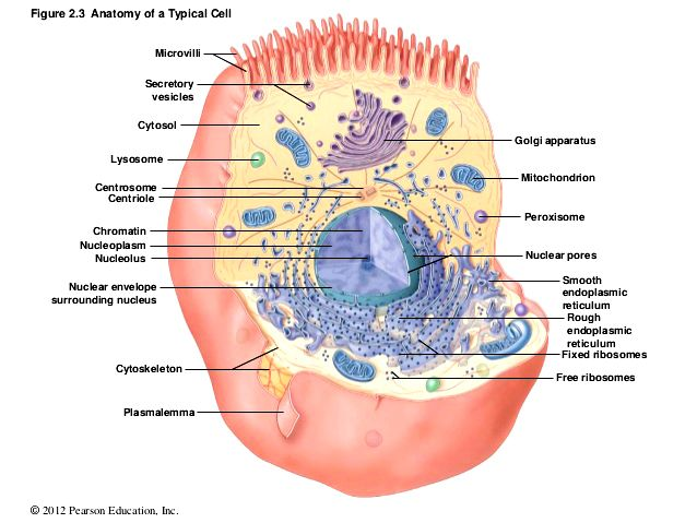 Anatomy of A Typical Cell | Inside The Cell | Pinterest