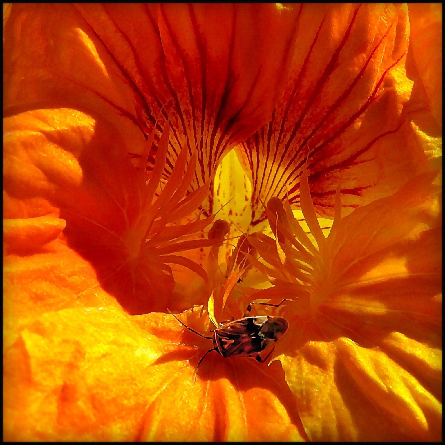 Bug, on nasturtium, by Vicki Rogers