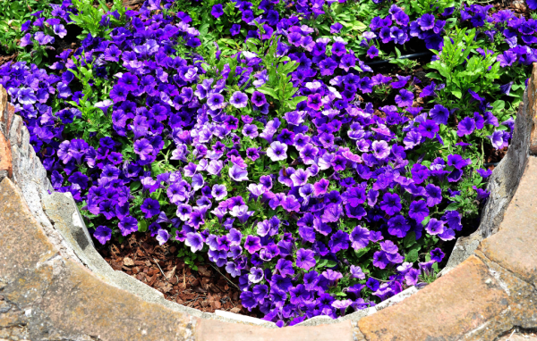 A Picture Shows Flowers Of One Of The New Petunias Flower Gardens At Palitine Hill In Rome Petunia Flower Photo Galleries Flower Garden