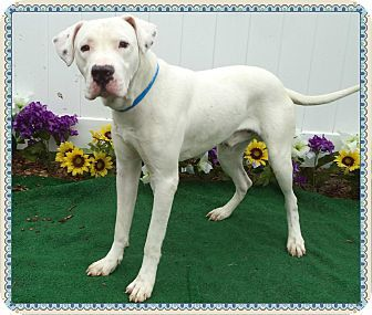 Marietta Ga Great Dane American Bulldog Mix Meet Satellite A