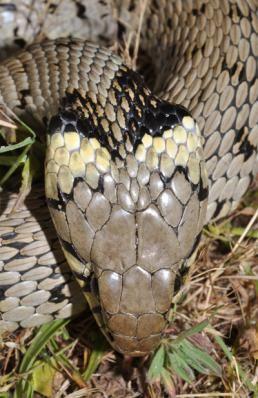 comment reconna tre une couleuvre d 39 une vip re serpents pinterest vip re couleuvre et la cl. Black Bedroom Furniture Sets. Home Design Ideas