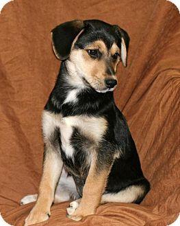 Albany Ny Beagle Husky Mix Meet Cady A Puppy For Adoption
