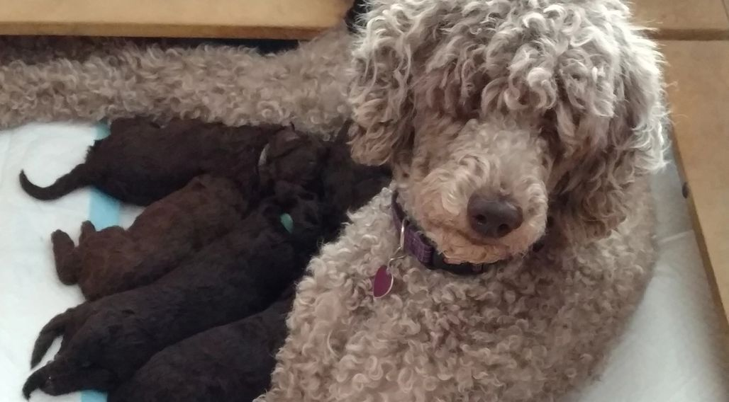 Standard Poodle Puppies For Sale Poodle And Doodle Poodle
