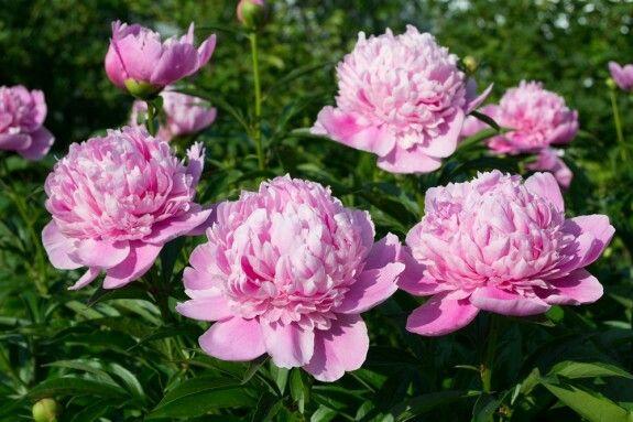 Pfingstrosen rosa.