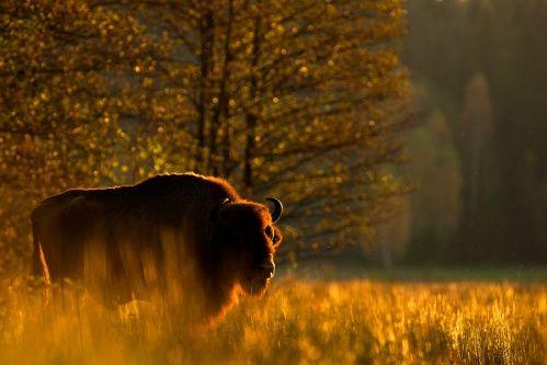w-plomieniach-puszcza-andrzej-rej-zubr-zubry-bison-bonasus-bisonte-europeo-wisent-puszcza-bialowieska-przewodnik-bialowieza-national-park-bialowieza-forest-belovezhskaya-pushcha.jpg (499×333)