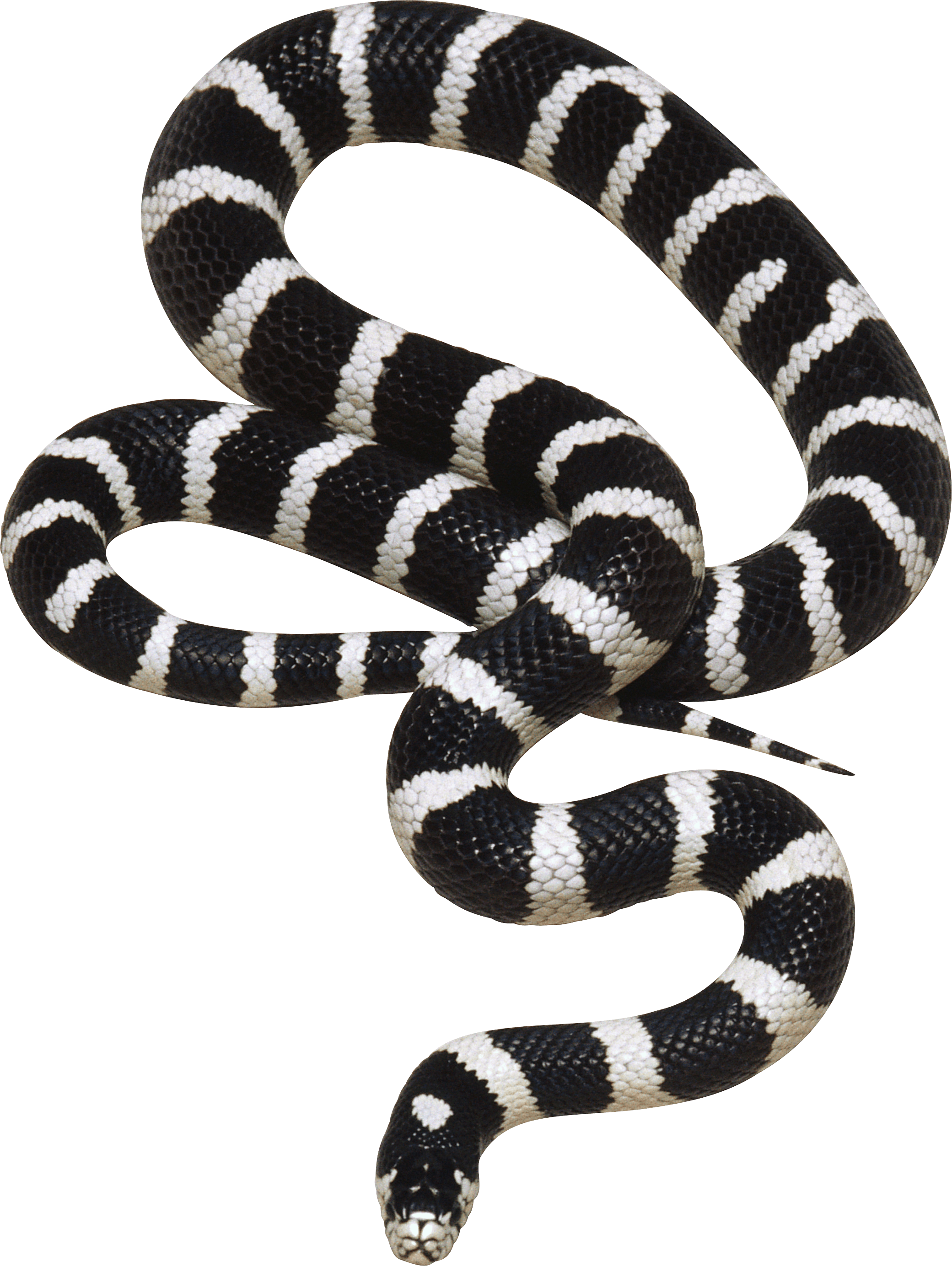 Black And White Snake Png Image Black And Yellow Snake Snake Animals Black And White