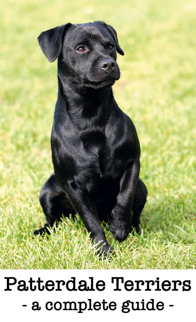 Picture Of A Patterdale Dog