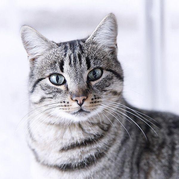 Portrait Gray Tabby Cat By Maika 777 Grey Tabby Cats Tabby Cat Grey Cats