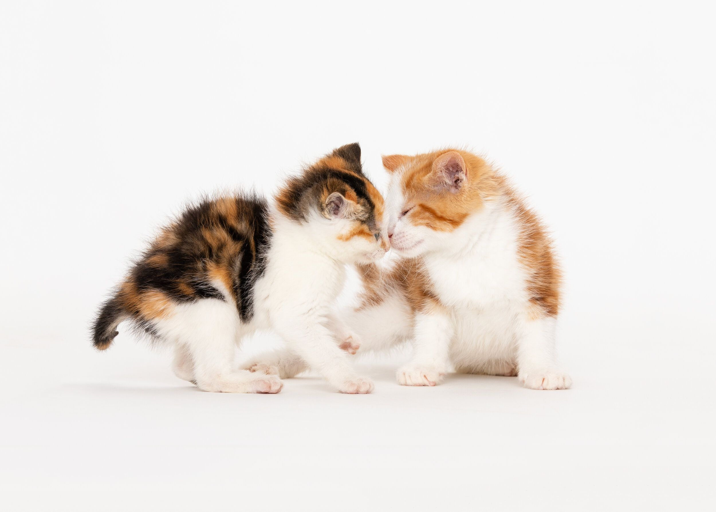 Daily Dose June 7 2020 Kitten Kiss Joan And Rollie 2020 C Barbara O Brien Photography All Rights Reserved Or In 2020 Animal Photography Animals Images Kitten