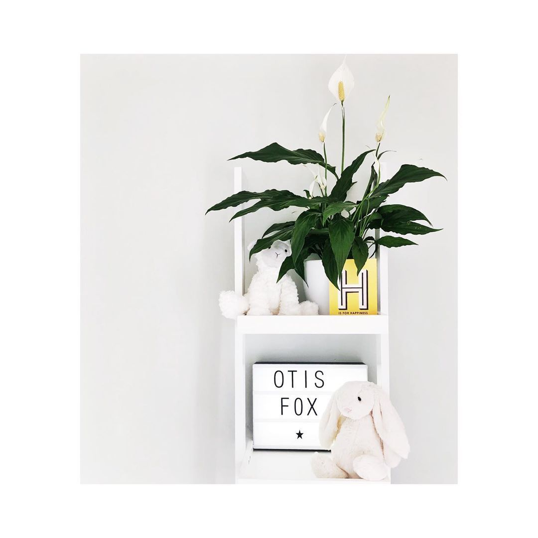 peace lily flowering plants white flowers plant display plant shel  peace lily flowering plants white flowers plant display plant shel