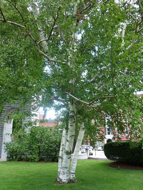 Paper White Birch tree on the NH State House Lawn is part of Front lawn Trees - This is the state tree of NH  This is also my favorite tree in NH & I visit it when I am in the area