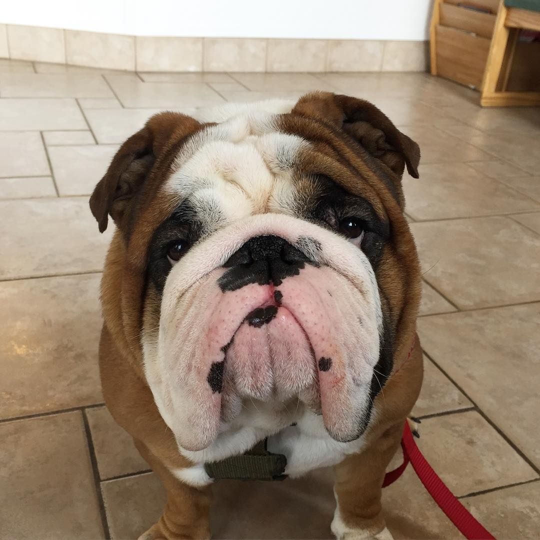 Pin by James Parrott on Bulldog Cute puppies, Puppies