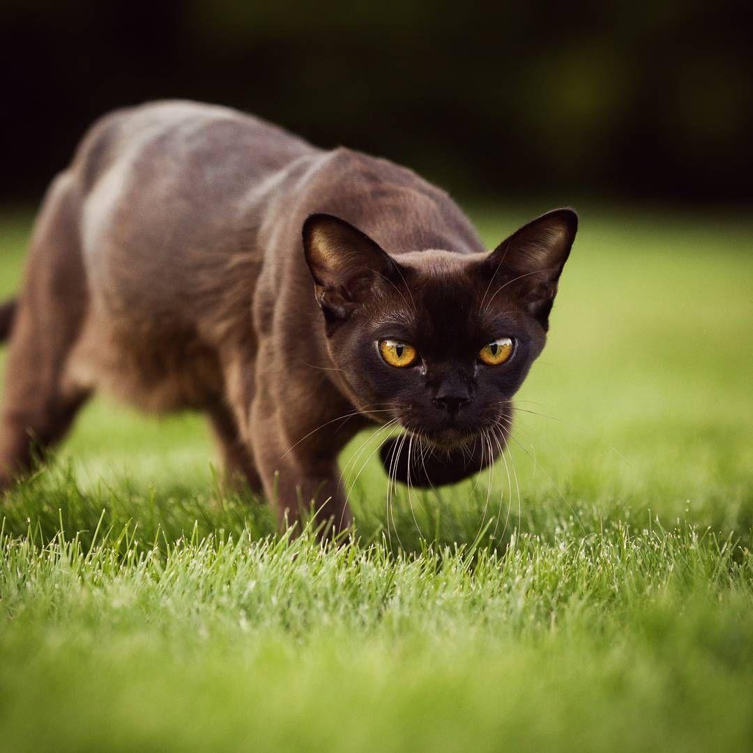burmese tessalvphotography Burmese cat, Crazy cats, Cat