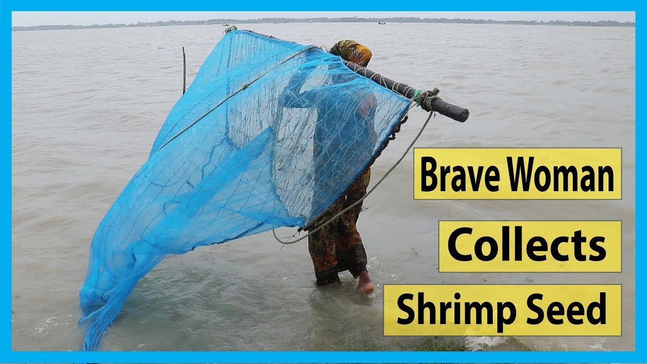 Amazing Brave Woman Collects Shrimp Seed In Deep Payra