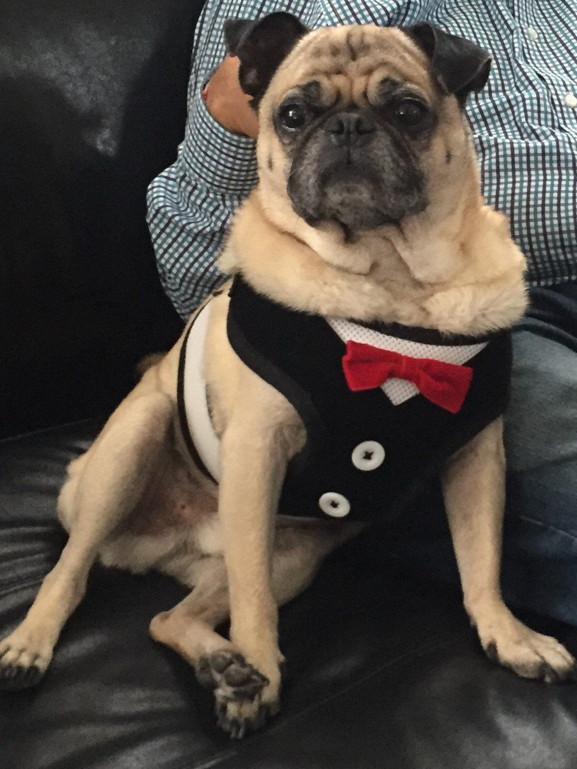 Larry The Pug Products Pug Puppies Pugs Baby Pug Dog