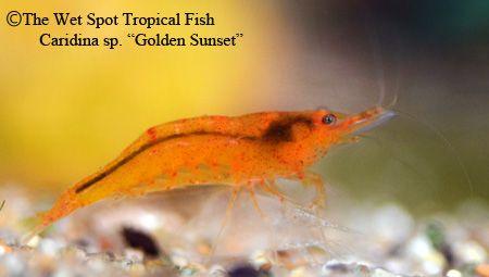 Caridina Sp Golden Sunset Shrimp Freshwater Fish Shrimp And