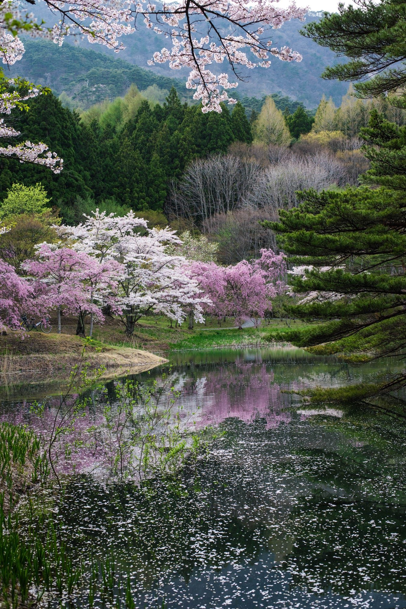 This Is Spring Of Japan Clear Pink Cherry Blossoms Are Blooming In The Mountains Reflected On Surface Water More