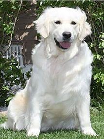 Beautiful White Golden Retriever In Garden Love Their Smiles
