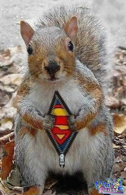 superman-squirrel | You had me at your pin | Funny animal