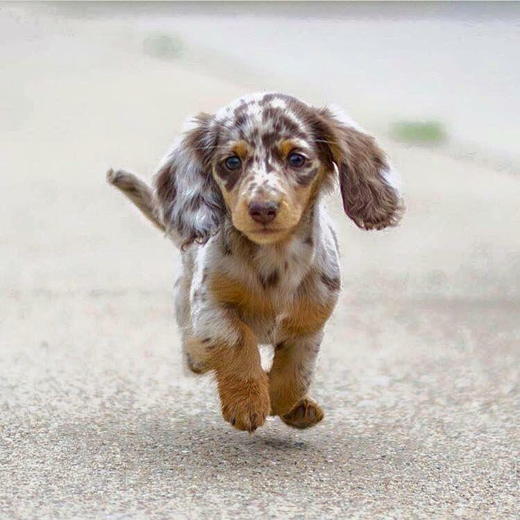 Running Doxie Tierbilder Hunderassen Babyhunde