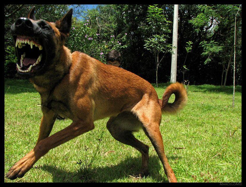 Attack 2 Malinois Dog Belgian Malinois Malinois