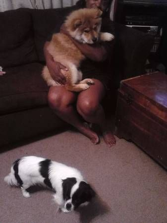 Record 9563 Stolen Chow And Japanese Chin Canton Oh Japanese Chin Dogs Chow Chow