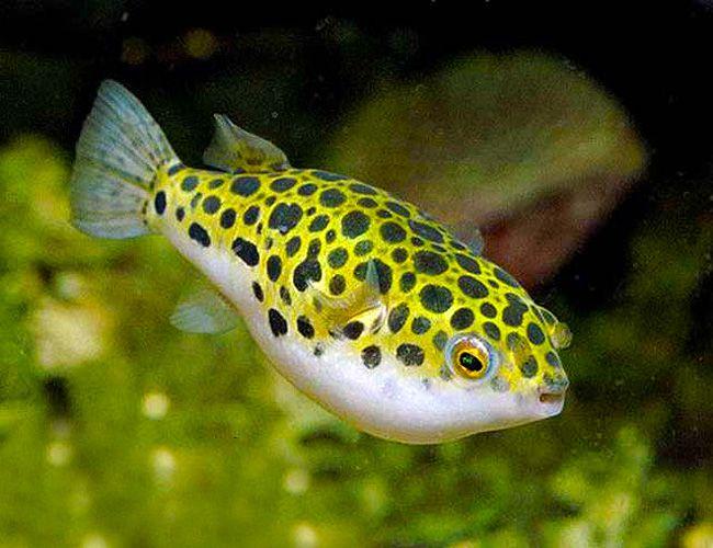 Spotted Congo Puffer Puffer Fish Fish Aquarium Fish