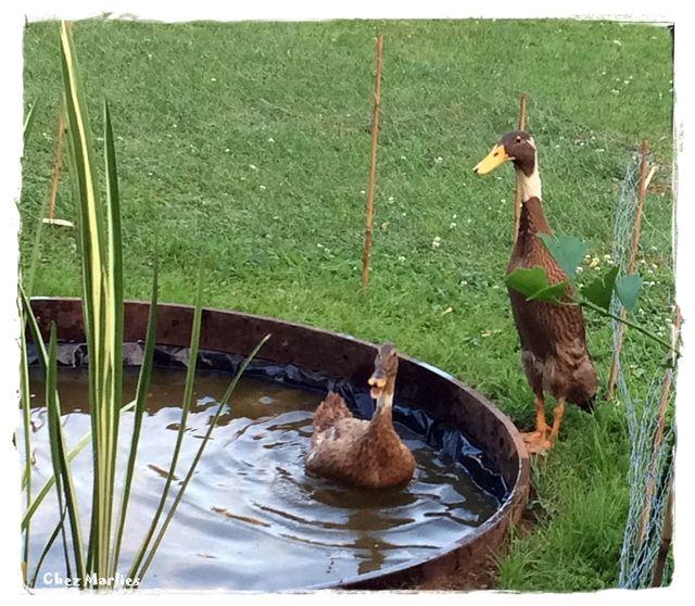 Dora Forrest Laufenten Abenteuer Ente Zwerghuhner Huhner Im Garten