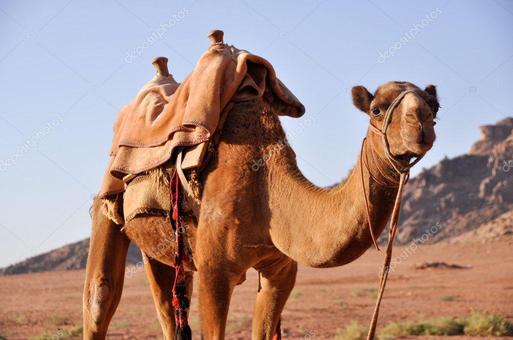 Camel in Wadi Rum (jordan) Stock Image , #spon, #Rum, #Wadi, #Camel, #Image #AD #wadirum