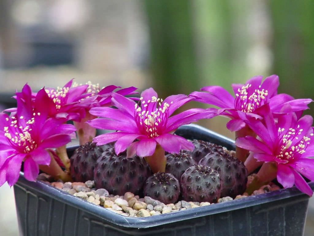 Rebutia rauschii is a local or morphological form of the variable Rebutia canigueralii. It is a miniature clustering cactus (rarely...