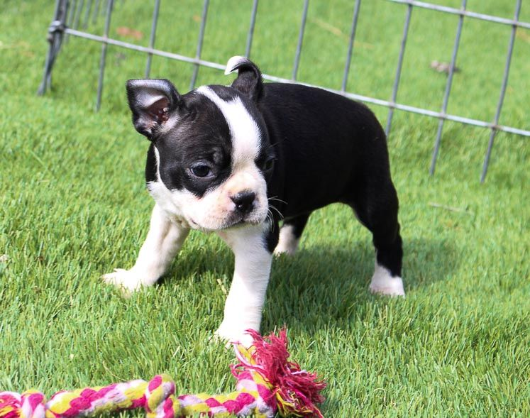 Berry Boston Terrier Puppy For Sale Near Shipshewana Indiana