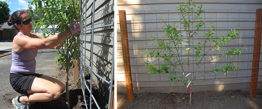 An Easy DIY Free Standing Garden Trellis Design Great For Climbing Veggies,  Flowers Or, As Shown Here, As The Foundation For Fan Espaliered Fruit Trees.