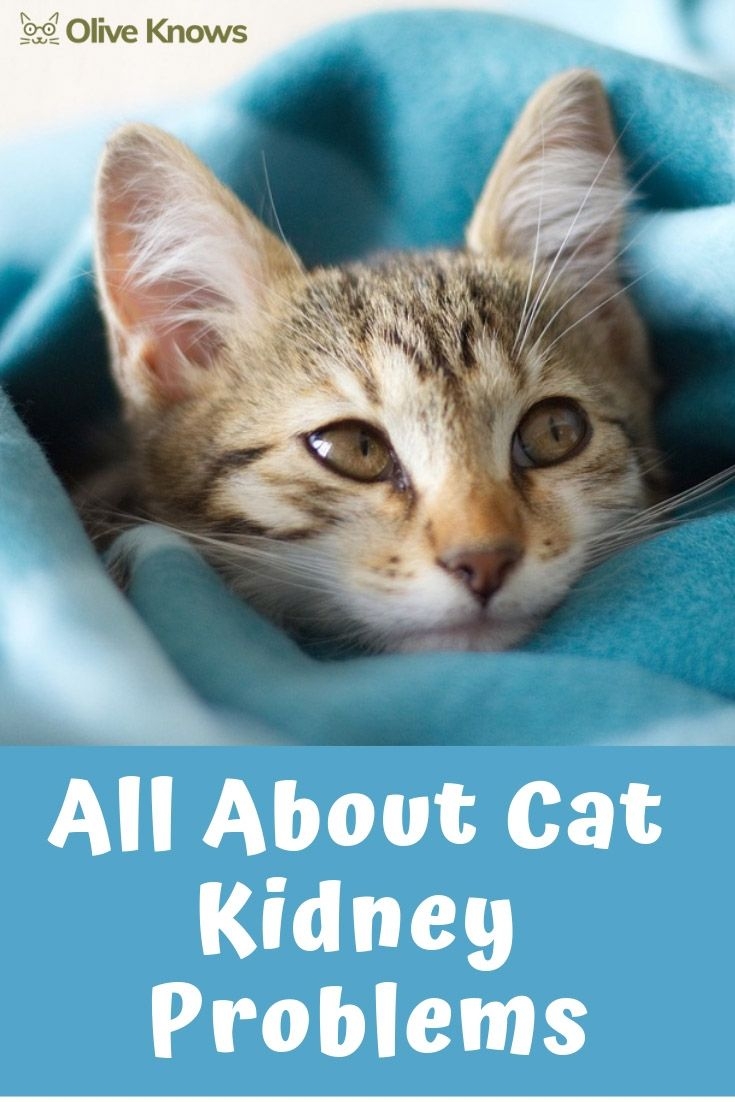All About Cat Kidney Problems Oliveknows In 2020 Cat Kidney Cat Care Cats