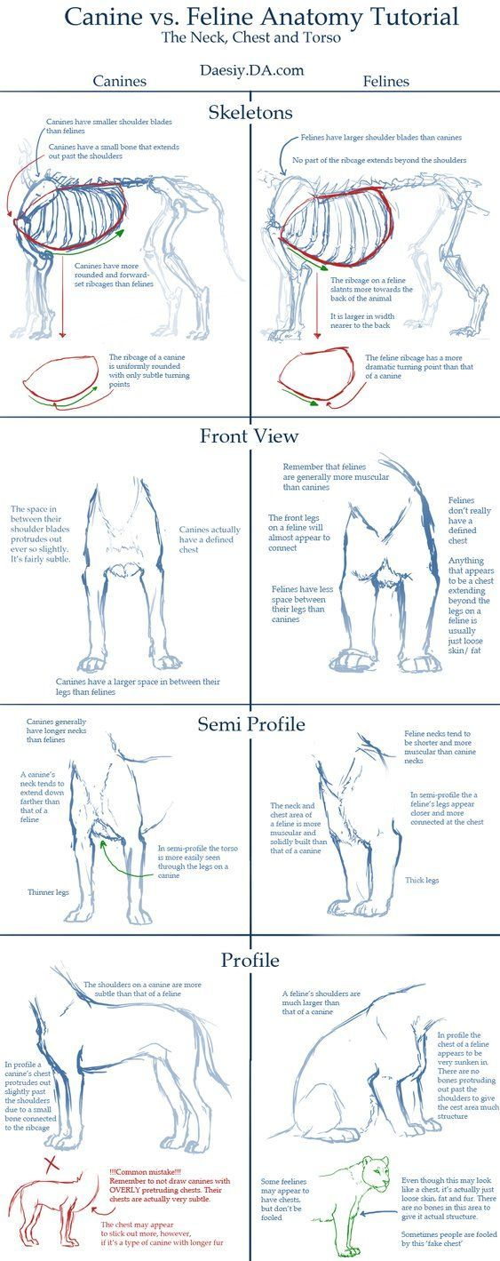 Canine v Feline Chest Anatomy Tutorial by *Daesiy on deviantART ...