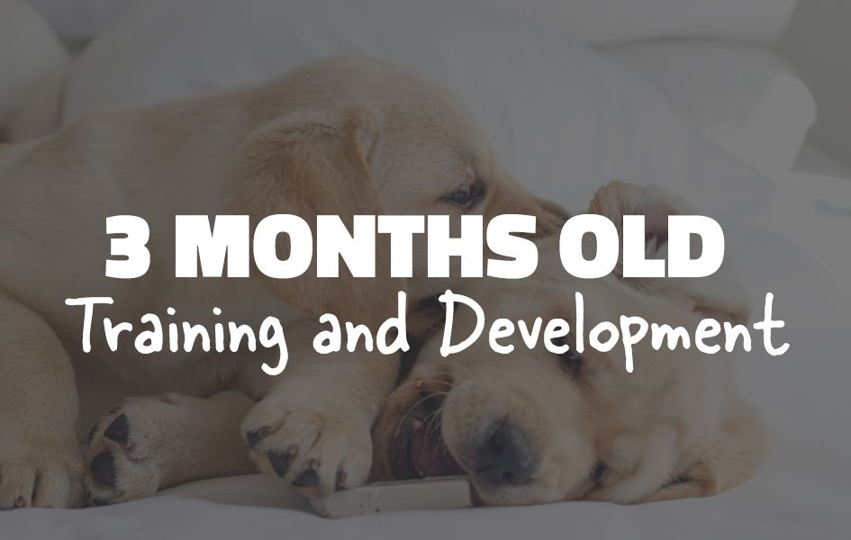 How To Train An Older Dog To Sit And Stay In 2020 Dog Grooming