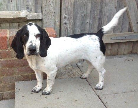 collie basset hound mix - Google Search | Doggies ...