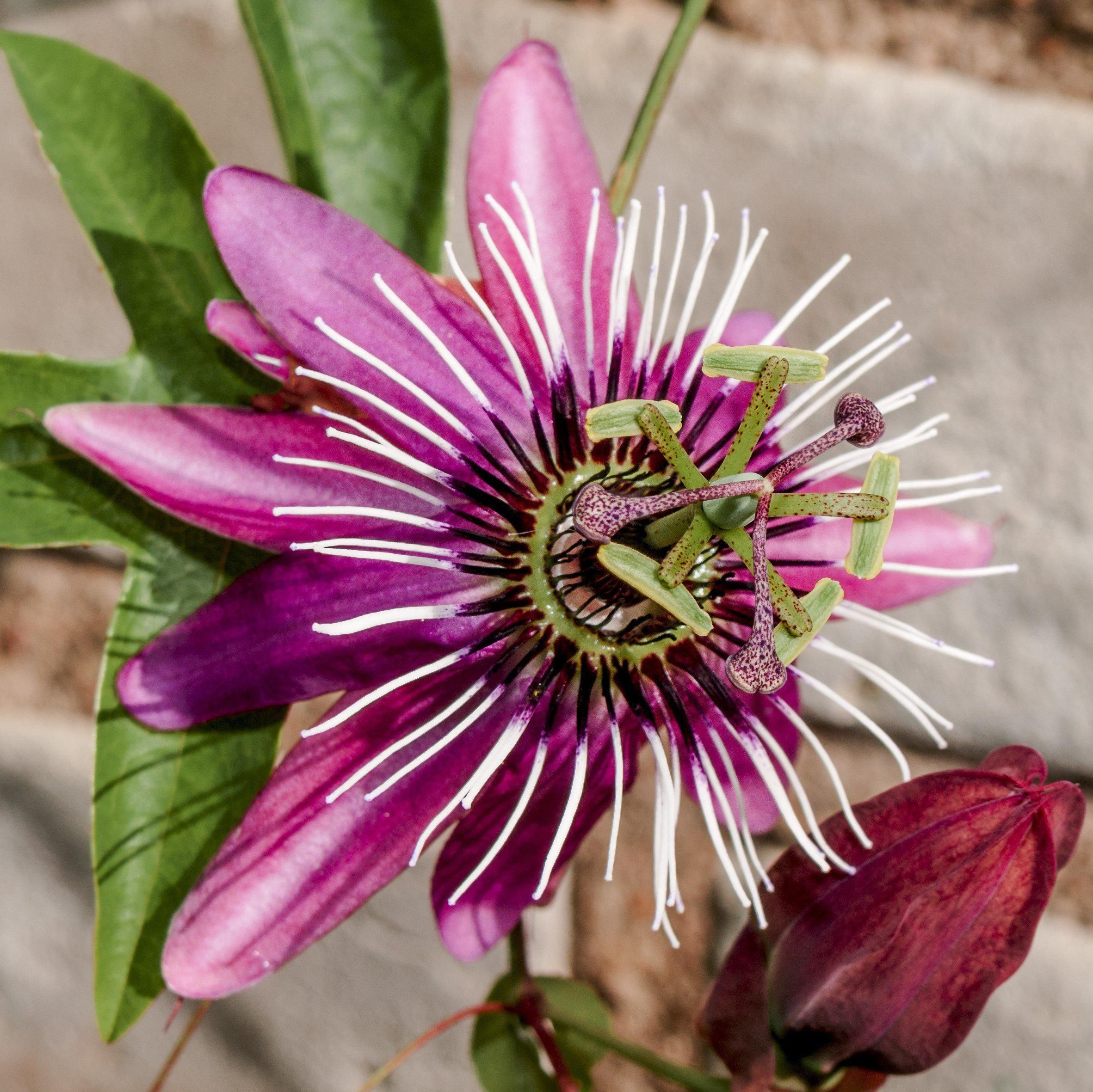 Allium Ampeloprasum Passion Flower Easy To Grow Bulbs Passion Flower Plant