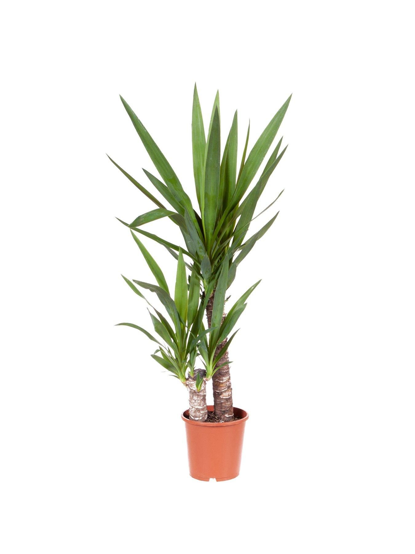 Yucca 2 stem 45/20cm in 17cm pot 80cm tall green