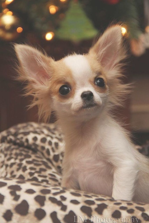 Chihuahua Dogandpuppiescutest Cute Chihuahua Chihuahua Cute Animals