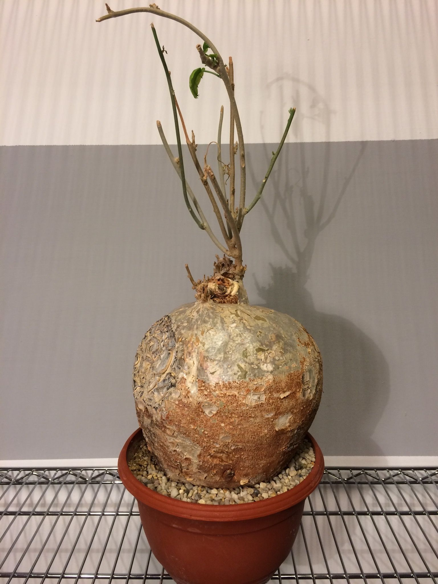 Pyrenacantha Malvifolia Succulentes M Z