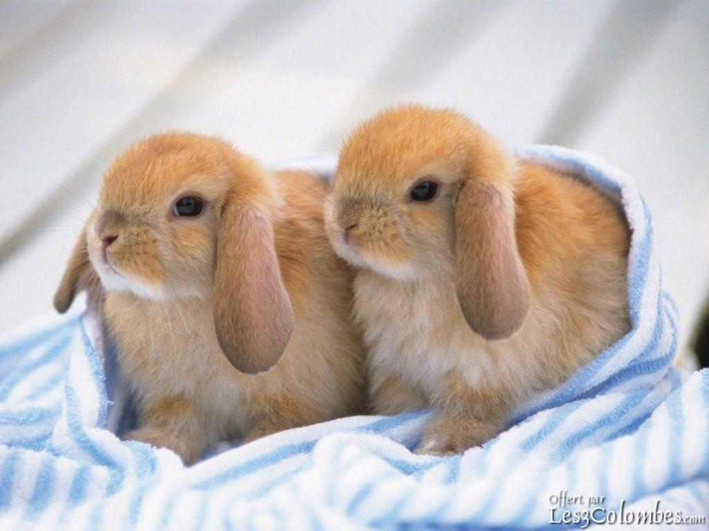 Lapin nain satin google search lapine pinterest - Photo de lapin mignon ...