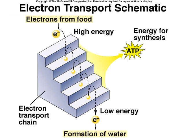Cell Respiration Part 3 Aerobic Respiration Electron Transport System Cellular Respiration Cell Respiration Electrons