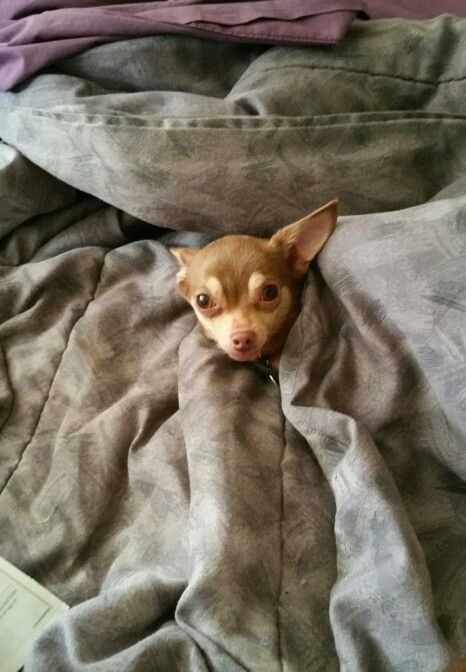 Pin von Beverly Shields auf Chihuahuas Are Angels | Pinterest