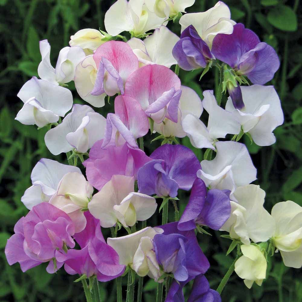Sweet Pea Scent Infusionlathyrus Odoratus Beautiful Flowers