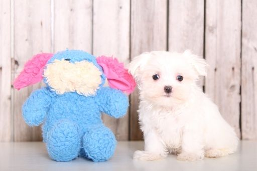 Maltese Puppy For Sale In Mount Vernon Oh Adn 46582 On