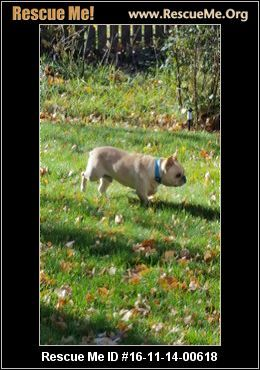Montana French Bulldog Rescue Adoptions Rescueme Org Bulldog