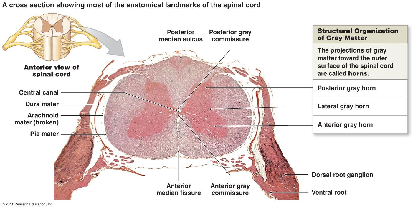spinal cord diagram - Google Search | Stuff of Interest | Pinterest ...