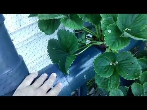 how to grow strawberries from seeds youtube